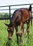little foal  in paddock