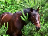 portrait of bay horse in pine tree
