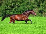 running bay horse in green meadow