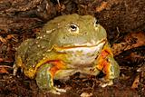 African Bullfrog