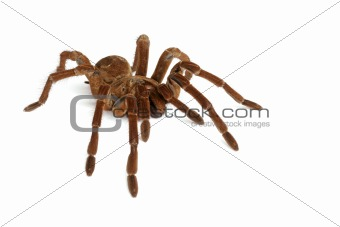 Goliath Birdeater Tarantula (Theraphosa blondi)