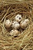 Five quail eggs in nest