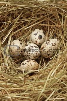 Five quail eggs in nest