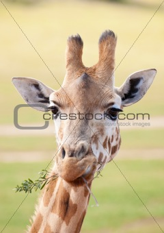 african giraffe up close