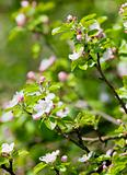 springtime -closeup of apple tree flowers at blossom in the garden