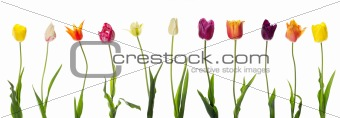 Pretty isolated tulips