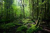 Springtime sunrise in wet deciduous stand of Bialowieza Forest