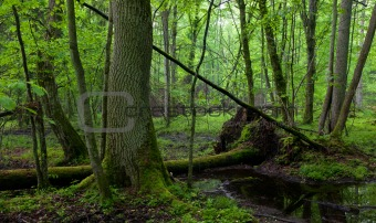 Ash tree by forest stream