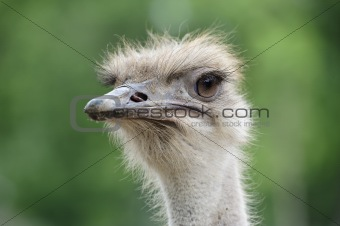 Photo of ostrich