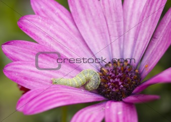 Caterpillar on a Flower