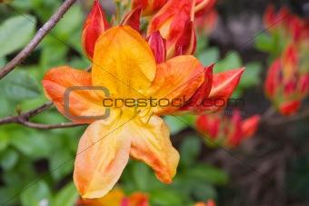 Azalea Mollis Flower