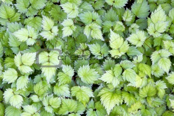 Astilbe Leaves Background