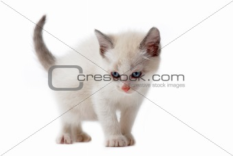 white siamese kitten