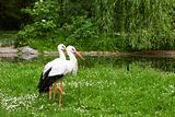 White stork and green nature