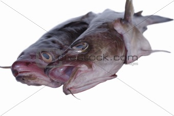 fish burbot on a white background