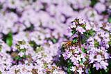 Honeybee on spring thyme flowers