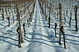 Snow in a vineyard