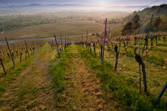 Cultivated landscape vineyard