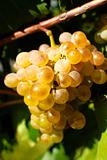 Bunch of grape