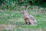 Sitting Hare
