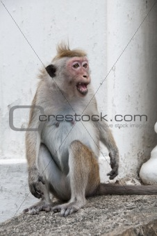 Shouting monkey portrait