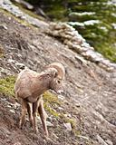 Bighorn sheep Ram