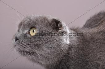 folded-eared cat cat