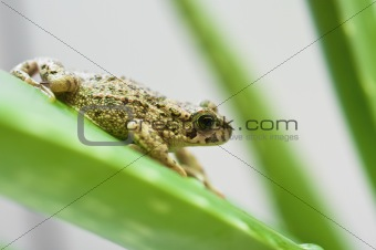 frog on the aloe leaf