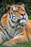 The Siberian tiger (Panthera tigris altaica