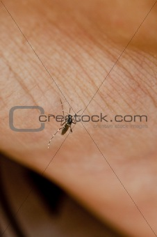 Asian Tiger Mosquito,while sucking the blood