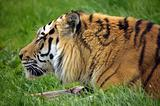 The Siberian tiger (Panthera tigris altaica