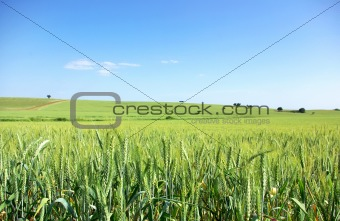 Green wheat field at south of Portugal.