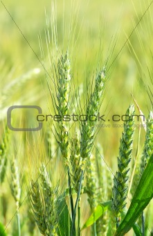 Green wheat spikes.