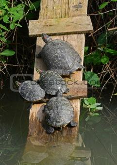 water turtles
