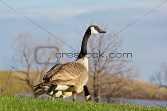 Canada goose looking up for signs of danger