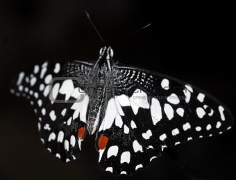 black white spotted Butterfly insect