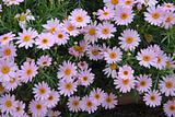 purple pink yellow Daisy Flowers