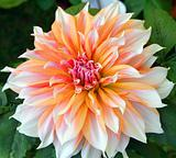 Orange white Dahlia Flower
