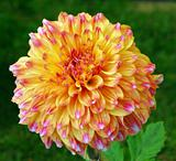 Orange yellow Dahlia Flower