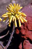 yellow succulent flower