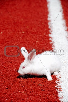 White rabbit on a racetrack