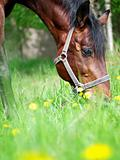 portrait of grazing bay horse closeup