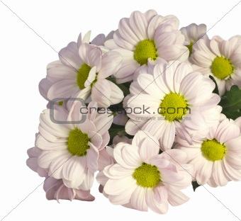 chrysanthemum on a white background