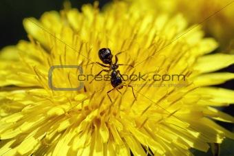 Ant feeding in dendelion flower