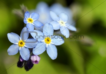 Forget-me-not blue flower