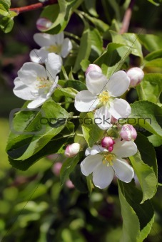 Apple tree flowers vertical