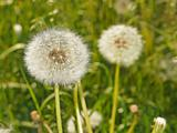 Fluffy dandelions on the meadow