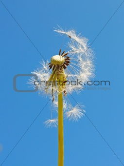 Blowball against blue sky
