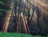 Sun rays crossing a misty forest