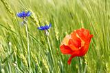 Cornflowers and red poppy among barley field
